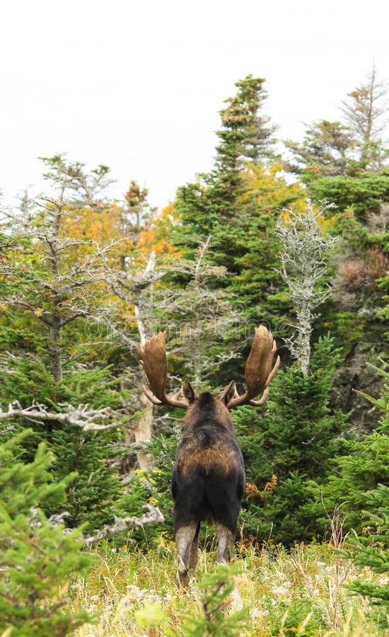 Bull Moose. Poses in the forest in Nova Scotia, Canada royalty free stock photography