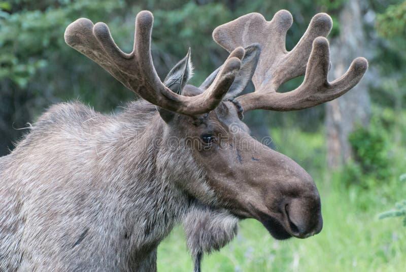 Bull Moose. A close up of a bull moose royalty free stock image