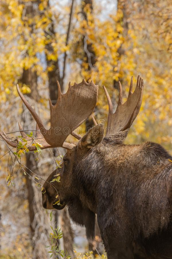 Bull Moose in Close Up Autumn. A bull shiras moose in autumn in Wyoming royalty free stock photo