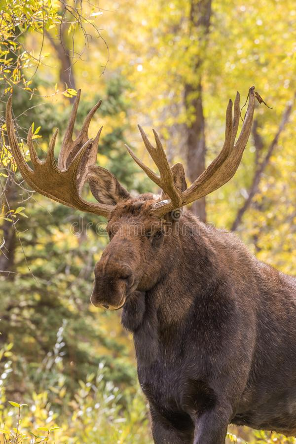 Bull Moose Close Up. A close up of a bull shiras moose in the fall rut in Wyoming stock images