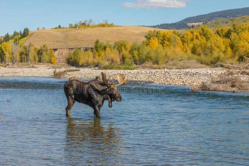 Bull Moose Crossing River in the Fall Rut in Wyoming. A bull shiras moose crossing a river in Wyoming during the fall rut stock images