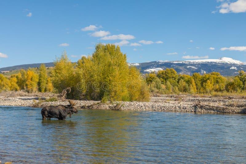 Bull Moose Crossing River in Wyoming. A bull shiras moose crossing a river in Wyoming during the fall rut stock photography