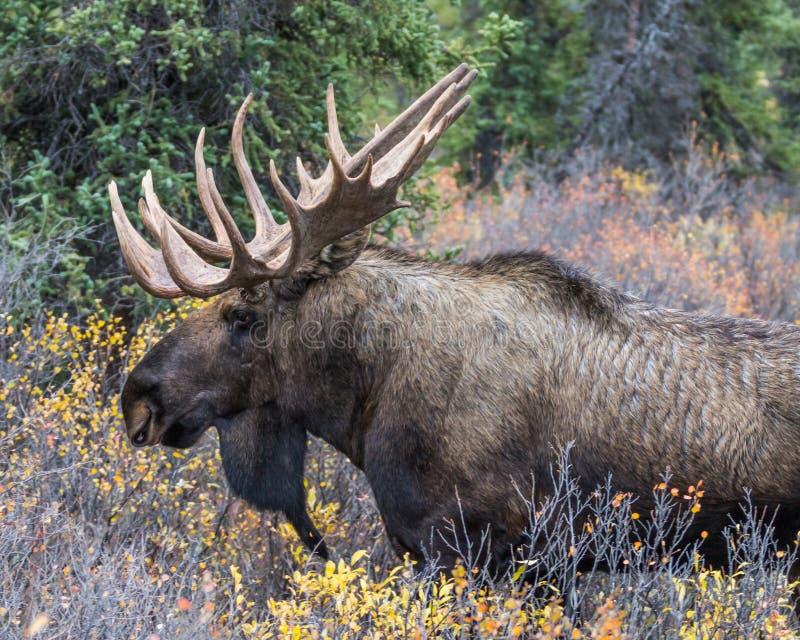Bull Moose Denali. A bull moose in Denali National Park, Alaska, in the fall stock image