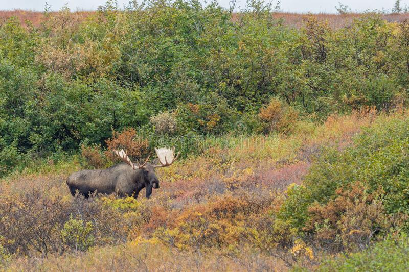 Bull Moose in Denali National Park. An Alaska Yukon bull moose in Denali National park in autumn royalty free stock photo