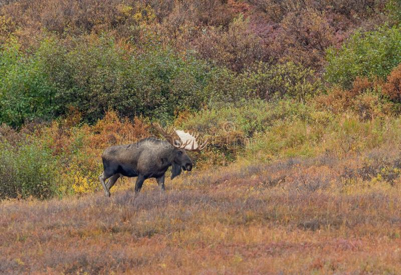 Bull Moose in Denali National Park in Autumn. An Alaska Yukon bull moose in Denali National park in autumn royalty free stock photography