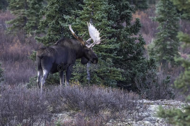 Bull Moose in Denali National Park. The moose or elk, Alces alces, is a member of the New World deer subfamily and is the largest and heaviest extant species in stock photography
