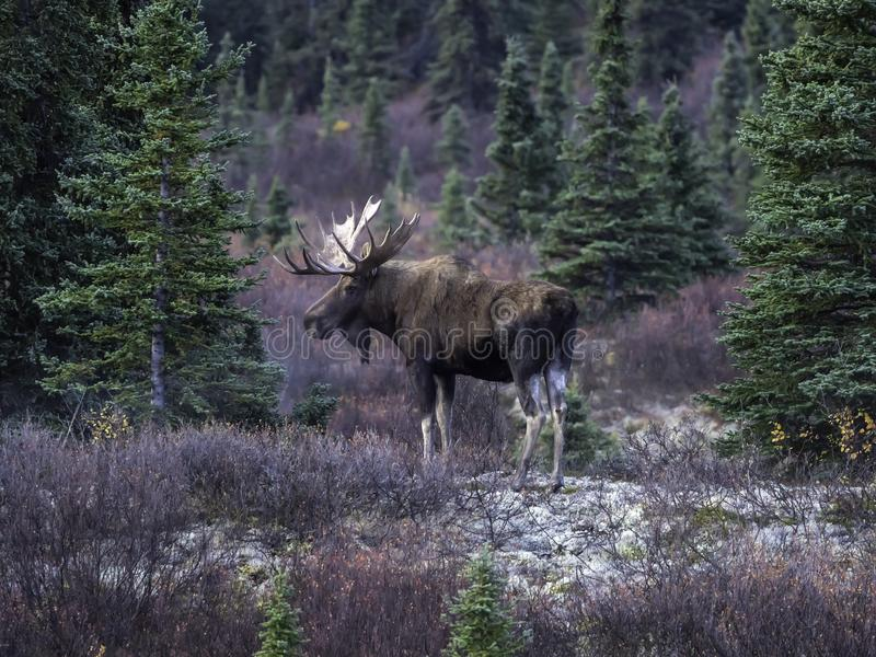 Bull Moose in Denali National Park. The moose or elk, Alces alces, is a member of the New World deer subfamily and is the largest and heaviest extant species in royalty free stock photography