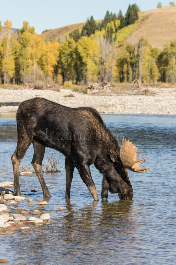 Bull Moose Drinking in a River in Fall. A bull moose drinking in a river during the fall rut in Wyoming royalty free stock image