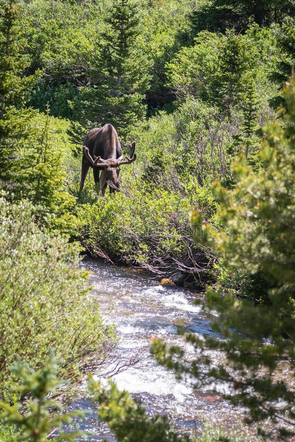 Bull moose eating from a willow tree royalty free stock images