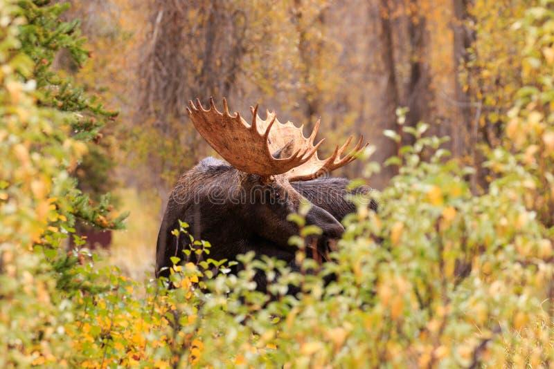 Bull Moose in Fall. A big bull moose during the fall rut stock photos