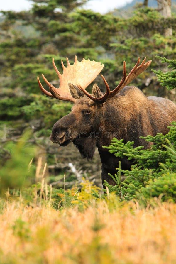 Bull Moose. During the fall rutting season royalty free stock photography