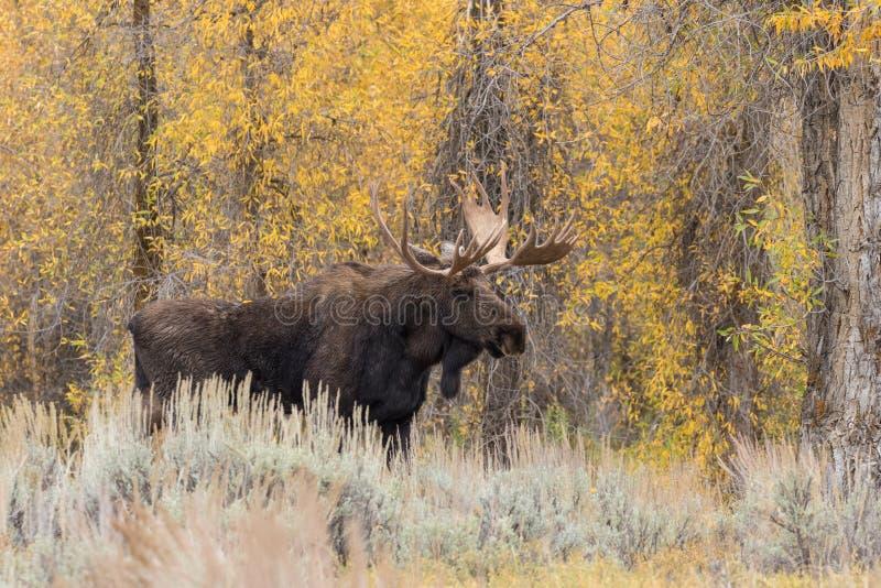 Bull Moose in Fall. A bull shiras moose in the fall rut stock photos