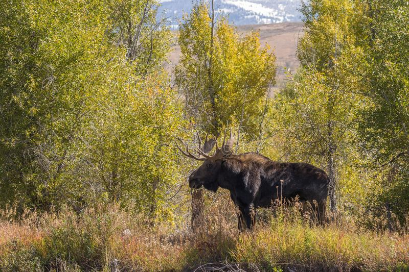 Bull Moose in Fall in Wyoming. A bull moose in Wyoming during the fall rut royalty free stock images