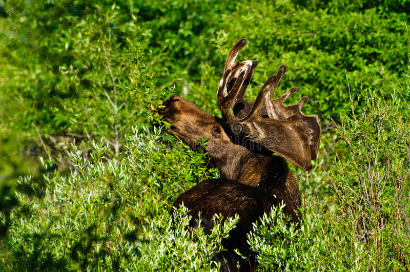 Bull Moose feeding. On leaves, Grand Tetons NP, Wyoming stock photo