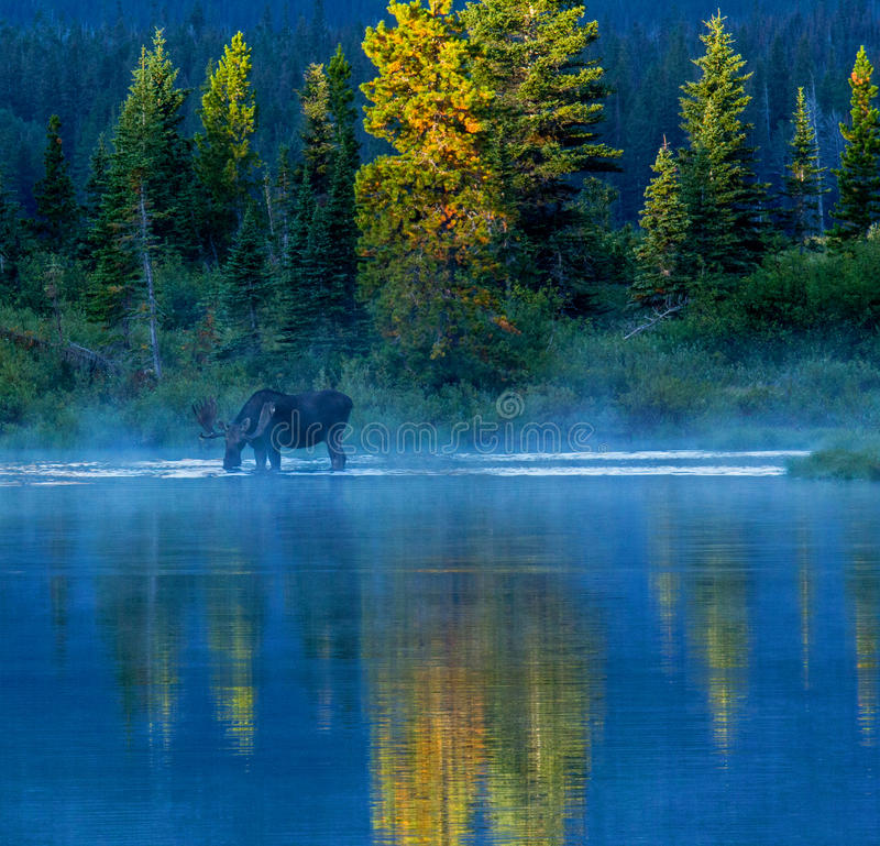 Bull Moose Feeding In Lake. This image shows a bull moose foraging in Pray Lake in Glacier National Park, MT during very early morning light stock image