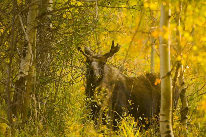 Bull moose feeding in the woods. A bull moose snacks on foliage in the woods of Grand Teton National Park stock images