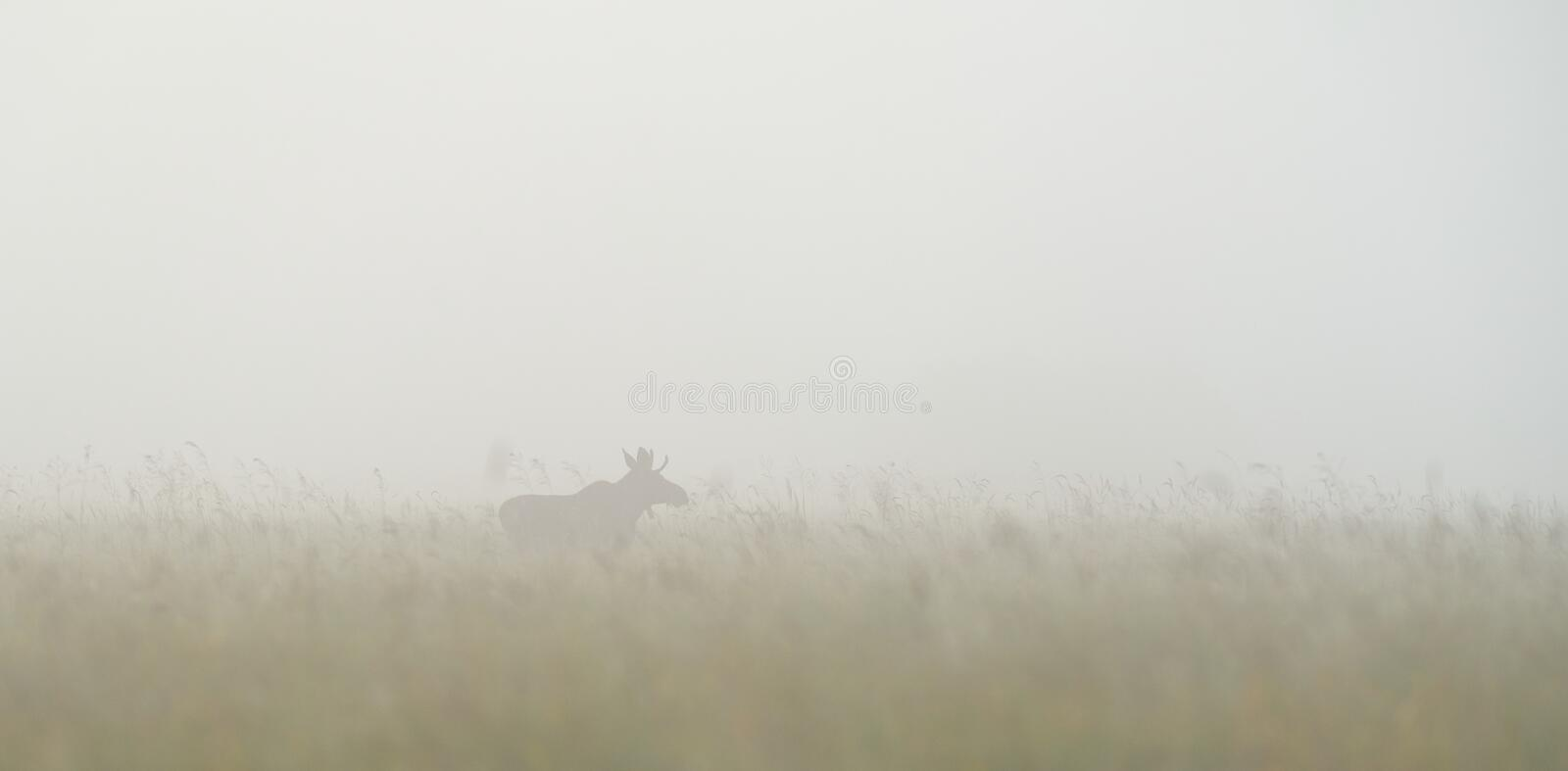 Bull moose in the fog. Bull moose in the mist stock photos