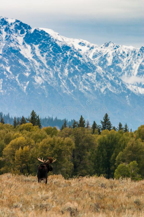 Bull moose above Blacktail Ponds in Grand Teton National Park. Bull Moose in the forefront of the snow-covered Teton Mountain Range in Jackson Wyoming royalty free stock photo