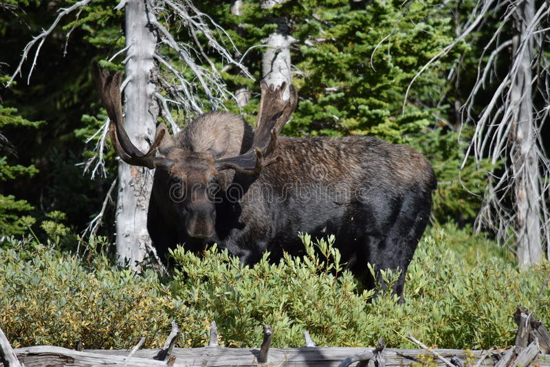 Bull moose. Full grown bull moose in Montana royalty free stock photography