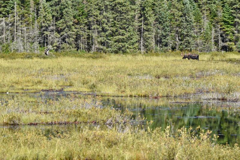 Bull Moose Grazing in Algonquin`s Wetlands. A moose is grazing in a marsh under the hot midday sun of summer. He is feeding on the tall grasses, wildflowers and stock images