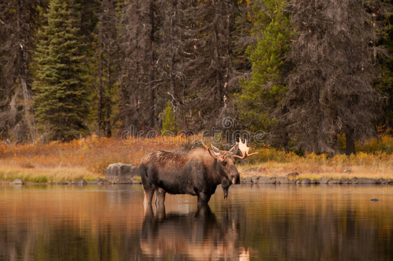 Bull Moose. This bull moose has been following a cow for some time so as to be sure he is the one to mate when the time comes. On Murtle Lake near Anderson Creek stock image