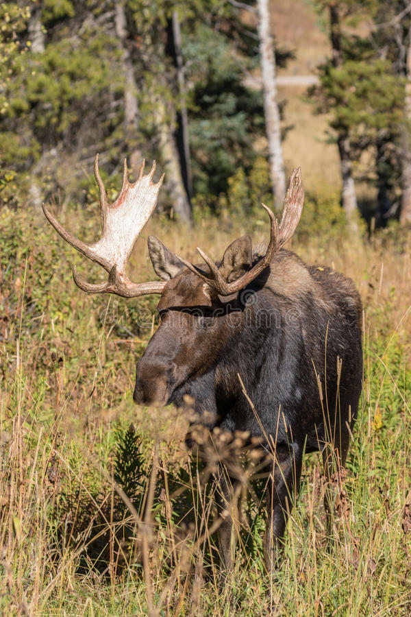 Bull Moose Head On in Fall. A big bull moose head on in autumn royalty free stock images