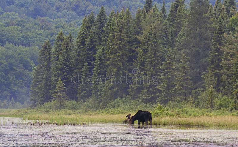A Bull Moose with huge velvet antlers Alces alces grazing in the marshes of Opeongo lake in Algonquin Park, Canada stock photos