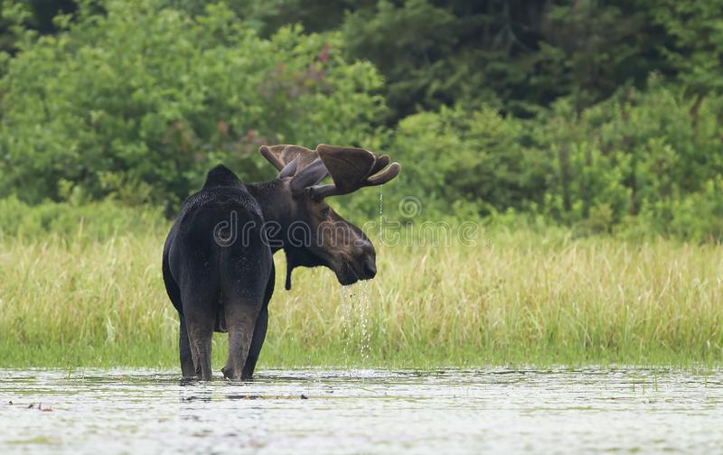 A Bull Moose with huge velvet antlers Alces alces grazing in the marshes of Opeongo lake in Algonquin Park, Canada royalty free stock image