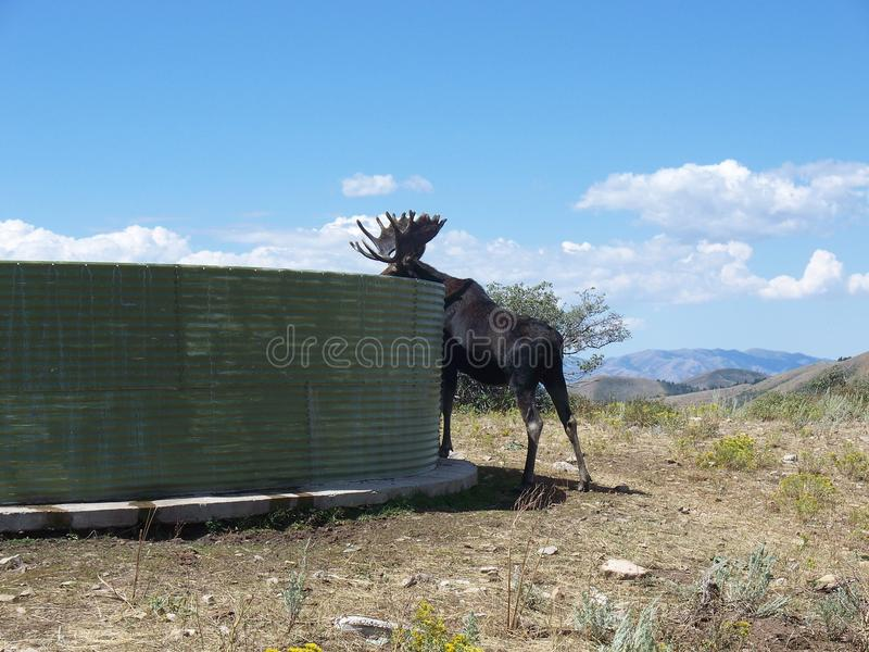 Bull Moose Alces alces. A bull moose in Idaho getting water out of a water tank royalty free stock photo