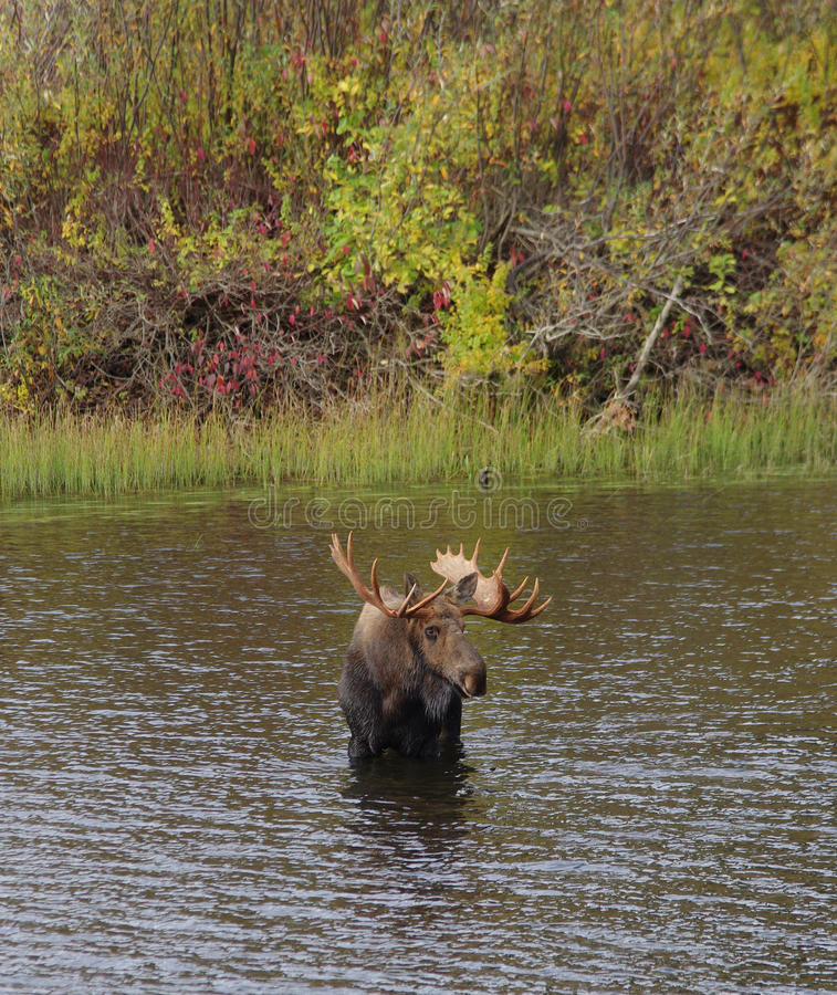 Bull Moose. A bull moose with large antlers in the fall (autumn) in northern canada royalty free stock image