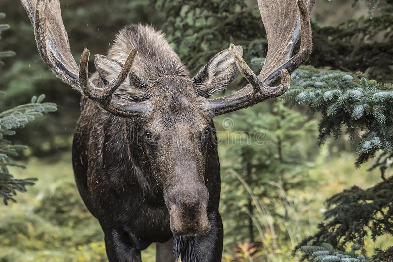 Bull Moose. Large Bull Moose foraging in the thick brush royalty free stock image