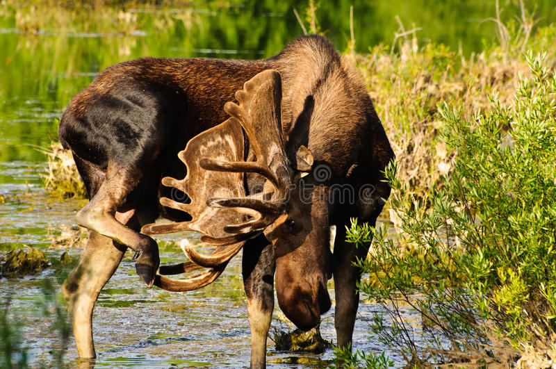 Bull Moose in a marsh. Grand Tetons NP, Wyoming royalty free stock photography