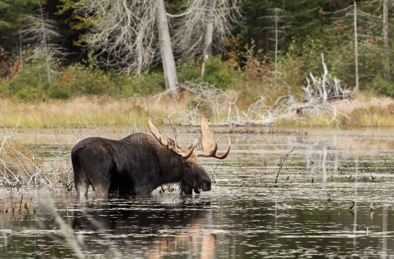 Bull Moose in marsh in Algonquin Park in Canada. Bull Moose Alces alces in marsh in Algonquin Park in Canada stock photo