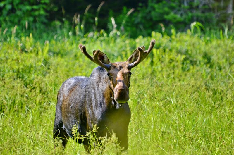 Bull Moose in meadow. In Ontario, Canada stock images