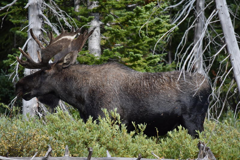 Bull moose. In Montana full grown male buck antlers MT Cooke City forest royalty free stock image