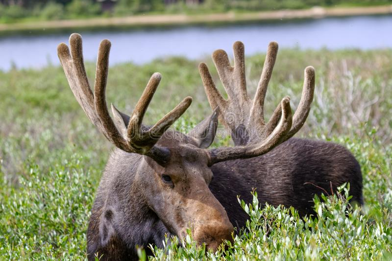 Bull Moose Munching on Willows in the Rocky Mountains of Colorado royalty free stock photos