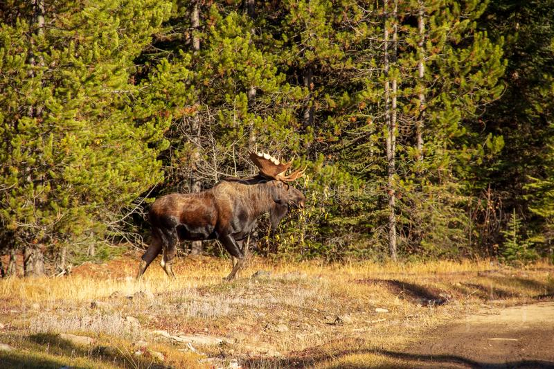 Bull Moose 10 Pointer. A 10 point Bull Moose taking a walk in the woods stock image