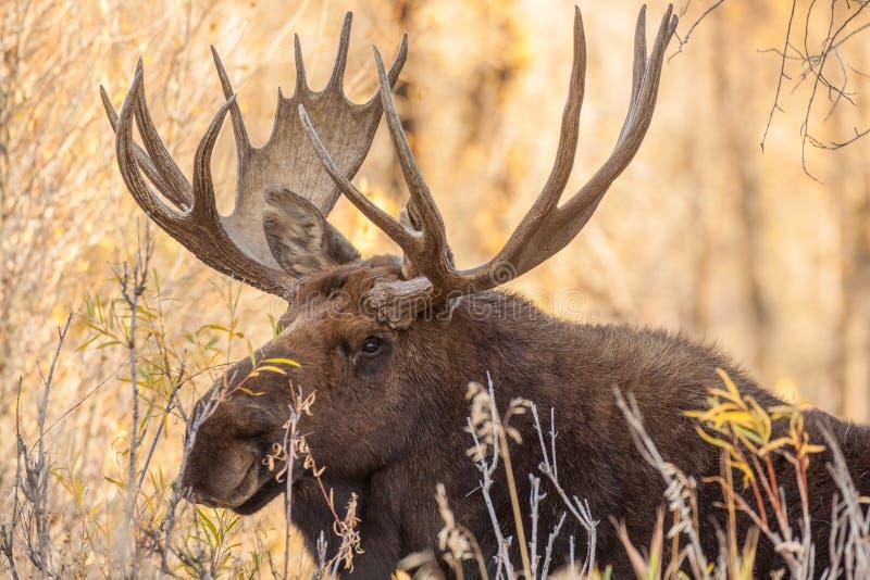 Bull Moose Portrait. A close up of a big bull moose stock image