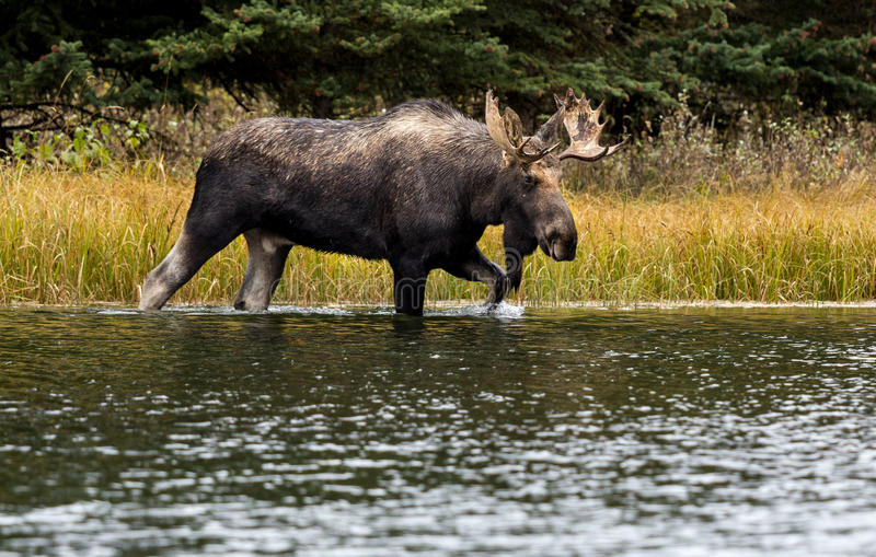 A Bull Moose in the River. A bull moose walks through a river feeding a beaver pond moving from one meadow to another during the rut season stock images