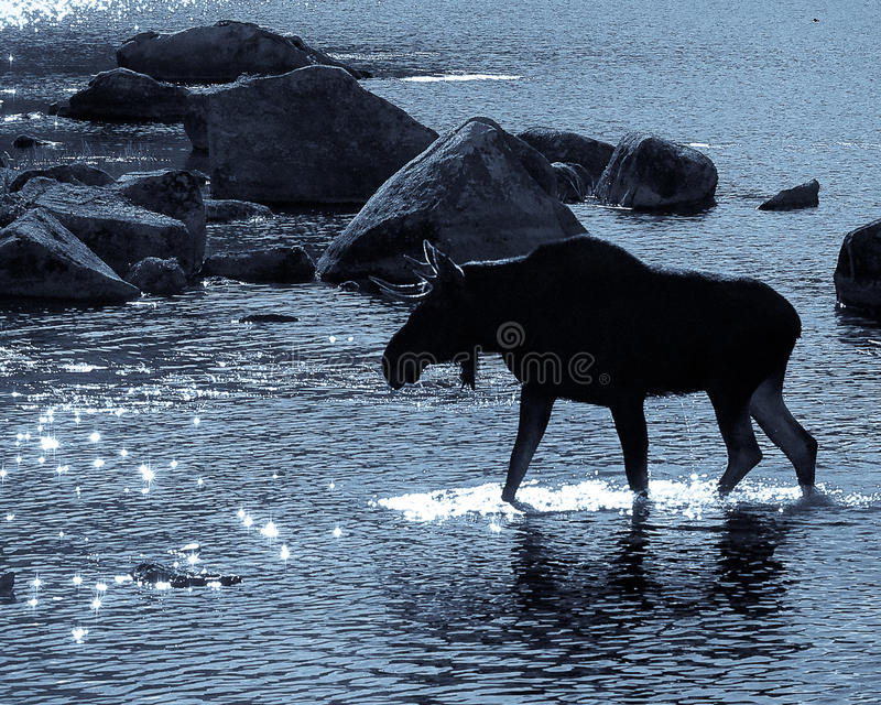 Bull Moose in sparkling sun. A bull moose moves into the sparkling setting sun in Baxter State Park in northern Maine stock photography