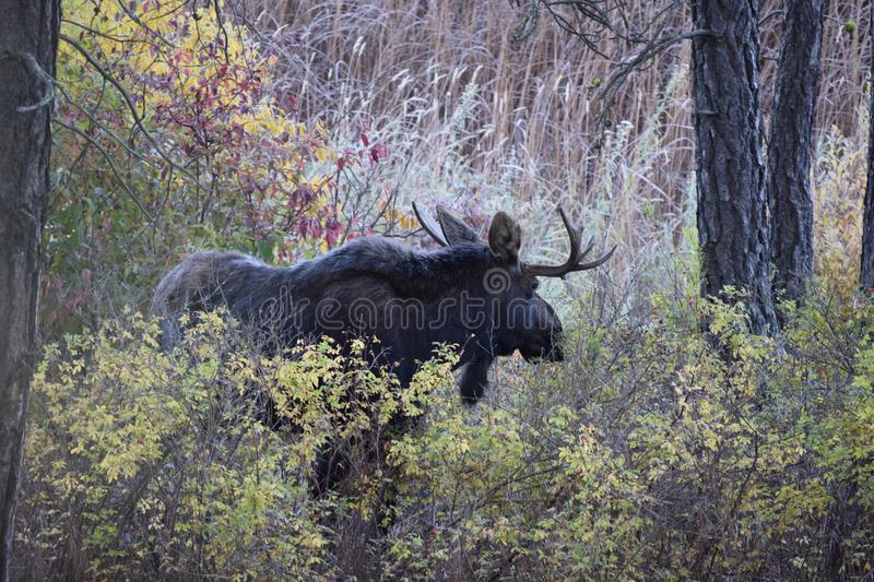 Bull moose in the Pacific Northwest. Bull moose spotted during Fall season eating foliage in Spokane, WA royalty free stock images