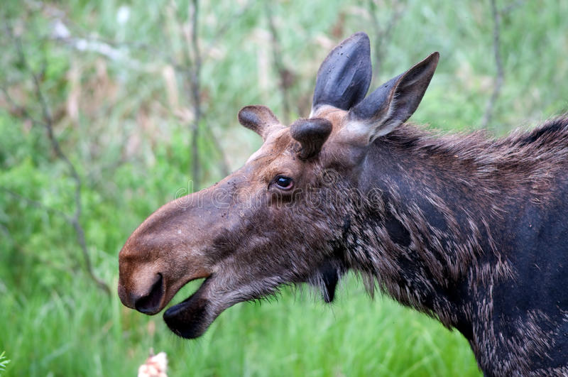 Bull moose in spring. Bull moose in the Canadian woods in spring royalty free stock image