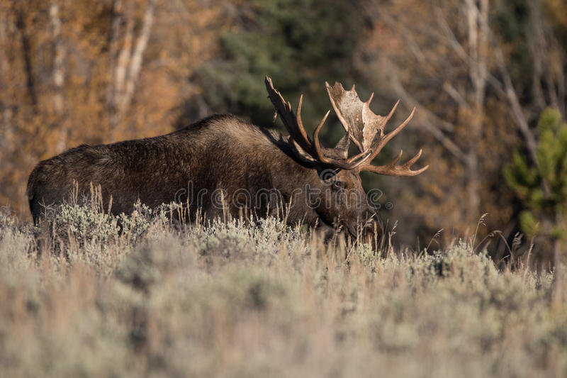 Bull Moose. Standing on the edge of a forest royalty free stock photo