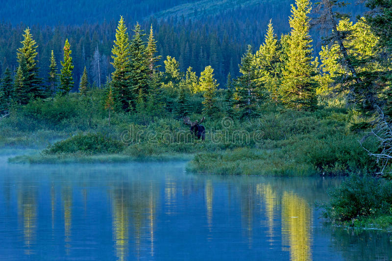 Bull Moose Standing At The Edge Of Lake. This image shows a bull moose at the edge of Pray Lake in Glacier National Park, MT during very early morning light royalty free stock photos