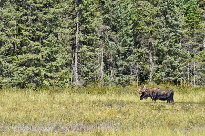 Bull Moose Standing in Profile in Algonquin`s Wetlands. A moose taking a break from grazing under the hot midday sun of summer. He is feeding on the tall grasses royalty free stock image