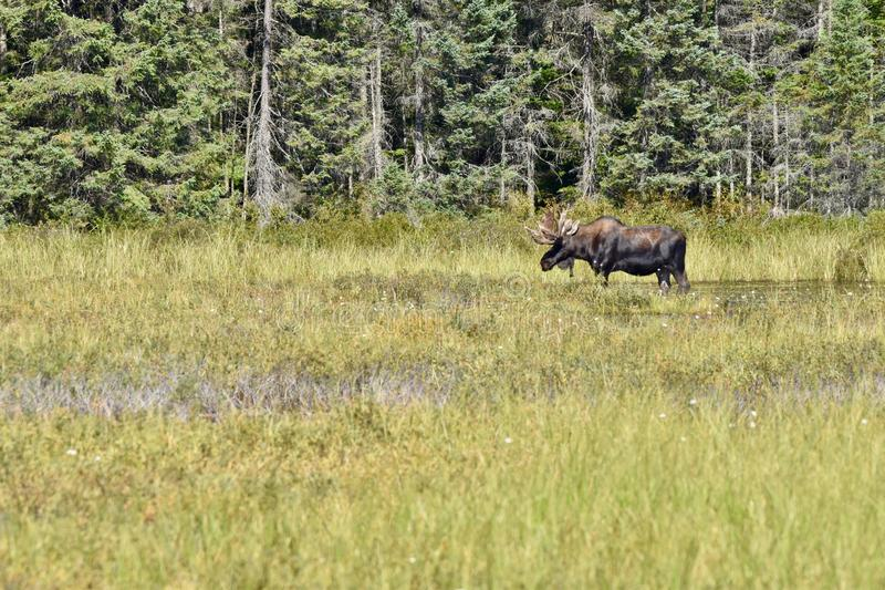 Bull Moose Standing in Profile in Algonquin`s Wetlands. A moose pauses briefly under the hot midday sun of summer. He is feeding on the tall grasses, wildflowers royalty free stock photos
