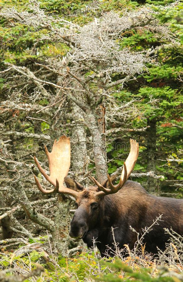 Bull Moose Standing in the Woods. A trophy bull moose stands in the woods on Cape Breton Island, Nova Scotia, Canada stock photography