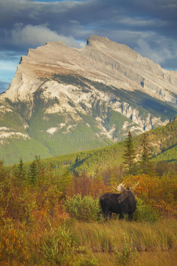 Bull Moose. A bull moose stands in in a meadow in Vermillion Lakes located in Banff National Park, Alberta royalty free stock photo