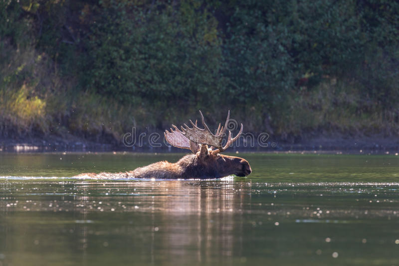 Bull Moose Swimming. A bull moose swimming in a river royalty free stock photography