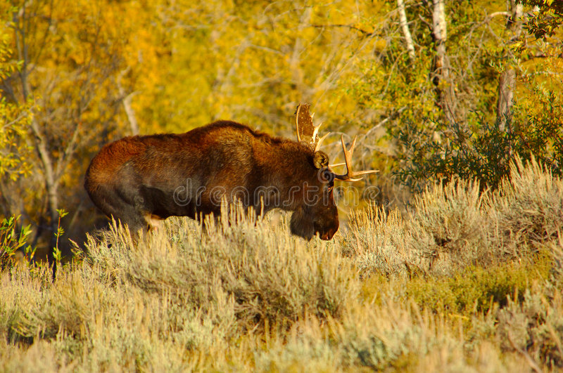 Bull Moose taking a stroll stock image